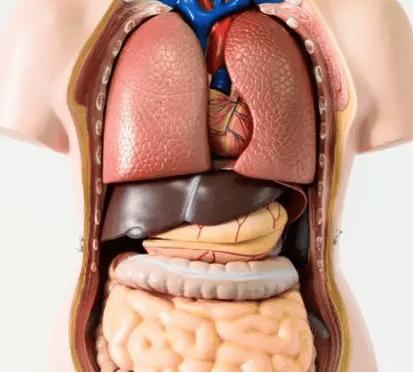 Organ-manusia-definisi-fungsi-sistem-di-dalam-di-luar