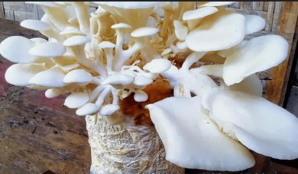 pengertian-jamur
